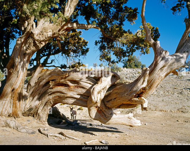 Donkey waiting behind a century old Juniper tree on the Sayq Plateau Oman Esel wartet hinter einem Jahrhunderte - Stock Image