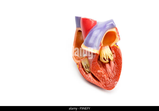 Inside synthetic model of opened human heart isolated on white background - Stock Image