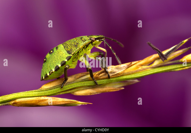 A shield bug (Pentatomoidea) - Stock Image