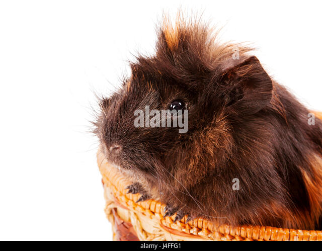 cavy pet sitting in basket isolated on white - Stock Image