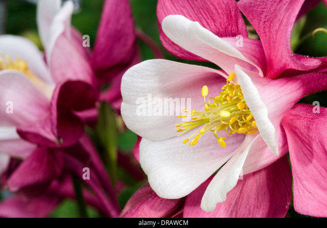Red Columbine - Stock Image