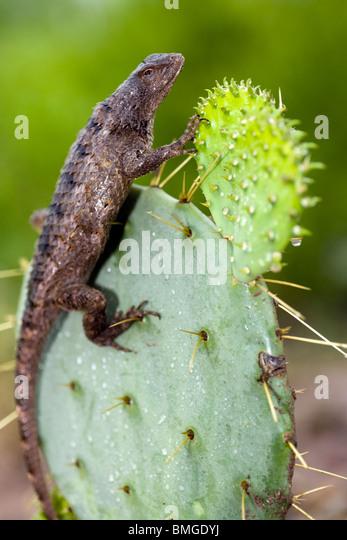 Texas Spiny Lizard - Los Novios Ranch - near Cotulla, Texas USA - Stock Image