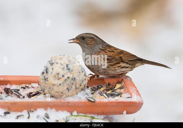 dunnock (Prunella modularis), feeding handmade fat feed in the snow, side view on the ground, Germany - Stock Image