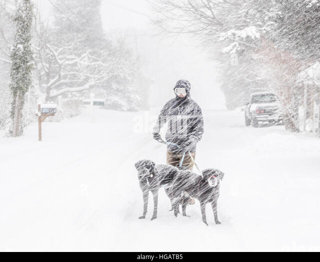 Orleans, MA, USA. 7th January, 2017.1 Dave Garner of Orleans, MA, walks his two dogs Bandit and Keeper through the - Stock Image