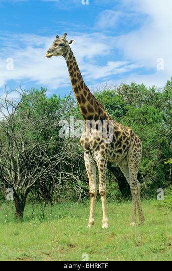 giraffe - standing / Giraffa camelopardalis - Stock Image