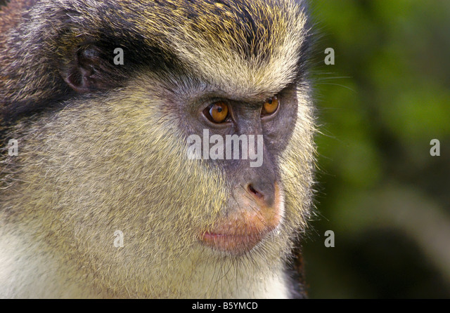Grenada Mona Monkey portrait closeup face eyes nature detail Grenada Grand Etang rain forest southern caribbean - Stock Image