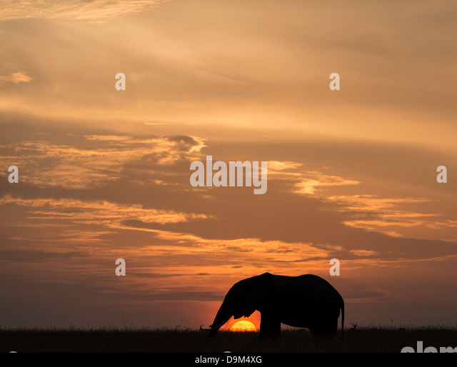 Big adult bull elephant at sunset Kenya Africa - Stock-Bilder