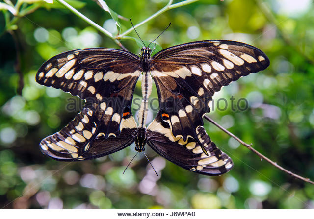 Boca Raton Florida Gumbo Limbo Environmental Complex and Nature Center Schaus Swallowtail butterfly mating threatened - Stock Image