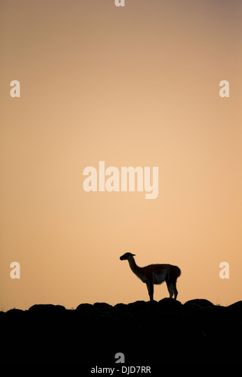 Guanaco(Lama guanicoe) silhouette standing on the hillside.Patagonia.Chile - Stock Image