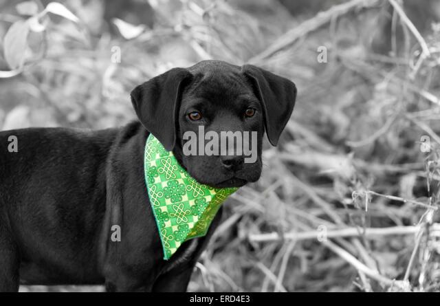 Black Puppy Closeup Stock Photos Amp Black Puppy Closeup Stock Images