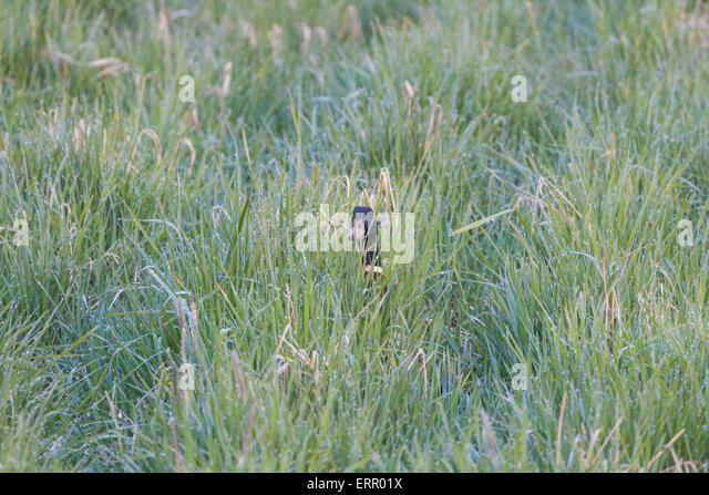 Male Mallard, Anas platyrhynchos, peeking in to camera in grass with dew drops - Stock Image