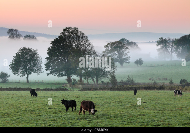 Cattle grazing in misty autumn fields near Fewston in Yoorkshire, England - Stock Image