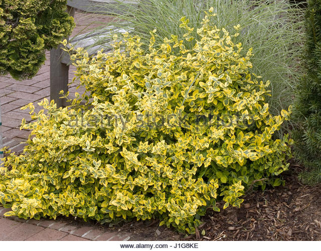 euonymus fortunei emerald 39 n gold stock photos euonymus fortunei emerald 39 n gold stock images. Black Bedroom Furniture Sets. Home Design Ideas