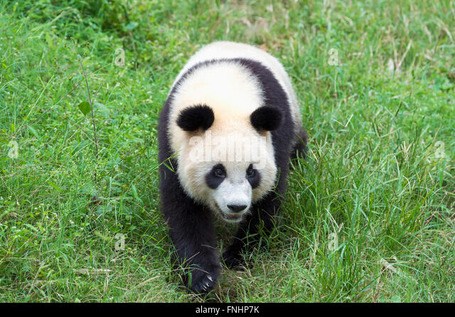 Giant Panda (Ailuropoda melanoleuca), China Conservation and Research Centre for the Giant Pandas, Chengdu, Sichuan, - Stock Image
