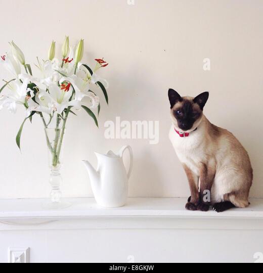 United Kingdom, England, Brighton, Portrait of Siamese cat - Stock Image