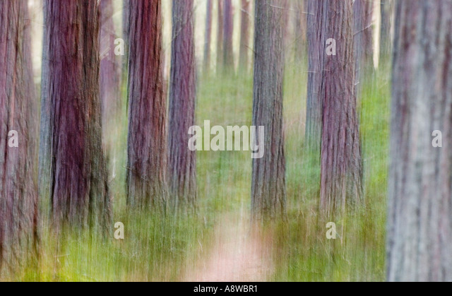 Abstract of Caledonian Pine Forest at Abernethy RSPB Reserve Speyside Scottish Highlands spring - Stock Image