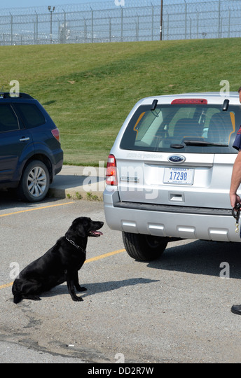 K-9 waiting to start a random drug search in the parking lot of an American maximum security prison. Labrador. - Stock Image