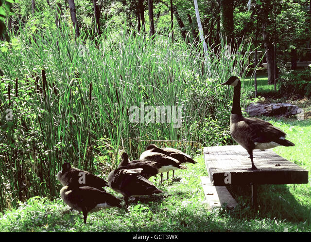 Large goose standing on a wood bench with a gaggle of geese on the grass. - Stock Image