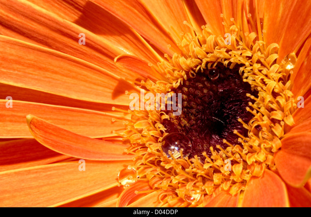 orange Gerbera daisy - Stock Image