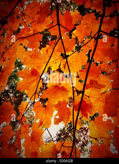 Maple leaves in autumn. Oak Park Illinois. - Stock Image