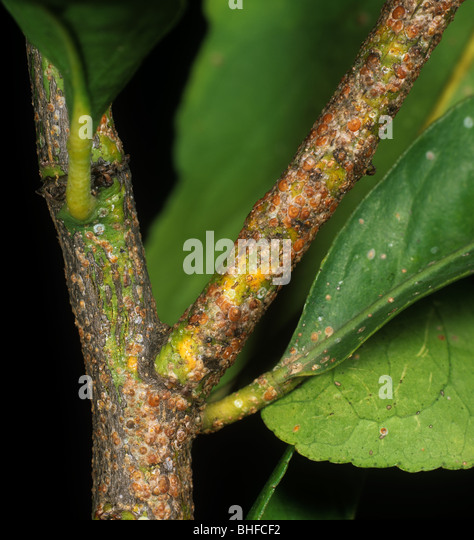 Californian red scale insect (Aonidiella aurantii) scale infestation on lemon wood - Stock Image