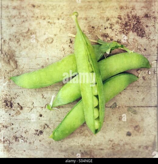 Green pea pods (Pisum sativum), freshly picked from garden, one open showing seeds. - Stock Image