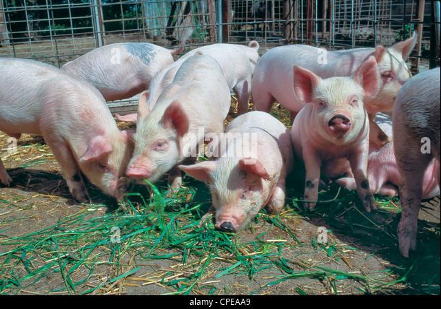 Juvenile hogs 'Yorkshire' feeding in pen. - Stock Image