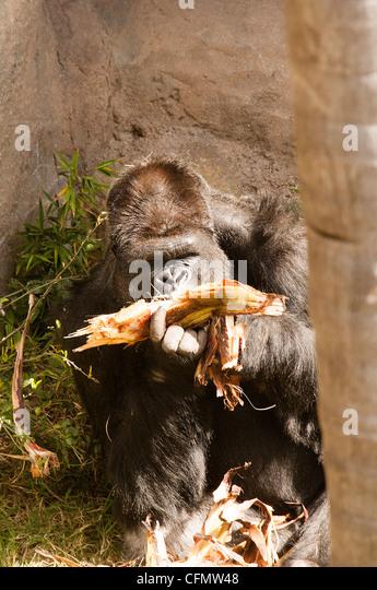 Gorilla feeding in Santa Barbara Zoo central California USA - Stock-Bilder