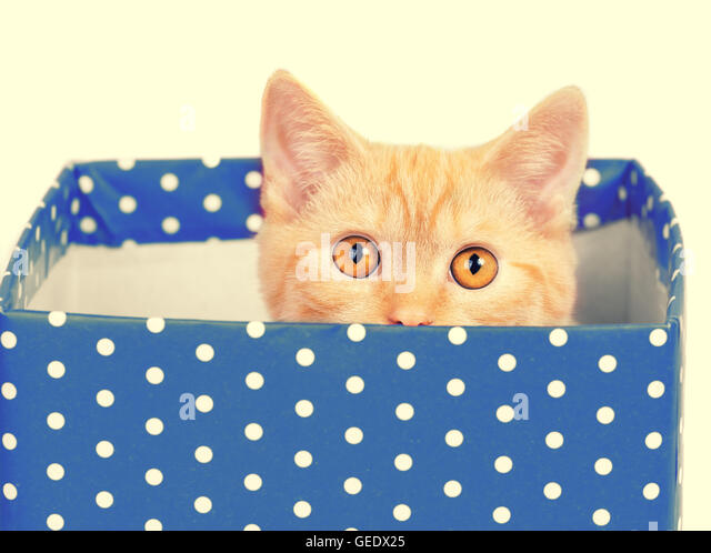 Cute kitten look out of the blue gift box - Stock Image