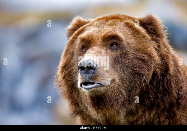 Grizzly bear at Grizzly and Wolf Center West Yellowstone Montana - Stock Image