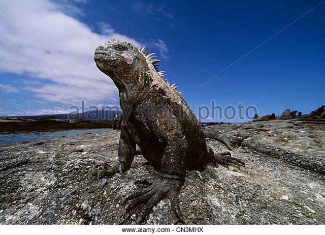 Marine iguana, Galapagos Islands, Ecuador - Stock Image