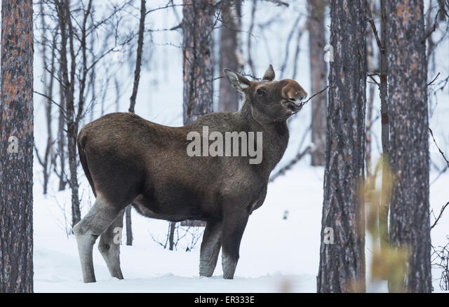 Moose cow, Alces alces eating on a bush in winter, Kiruna, swedish lapland - Stock-Bilder