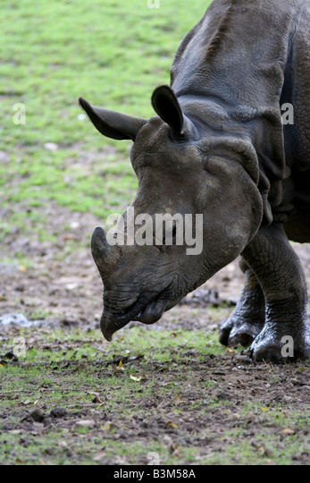Great indian rhino - Stock Image