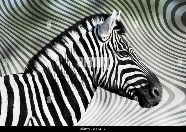 zebra-against-zebra-skin-background-a124