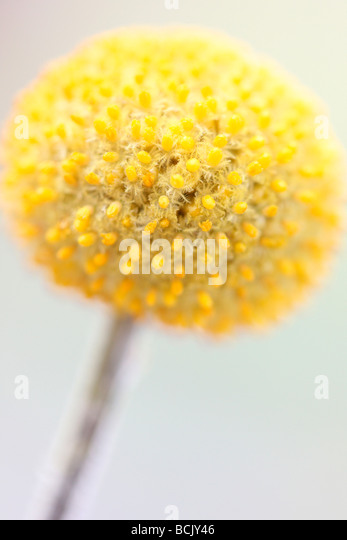 minimal and pure image of craspedia fine art photography Jane Ann Butler Photography JABP387 - Stock Image