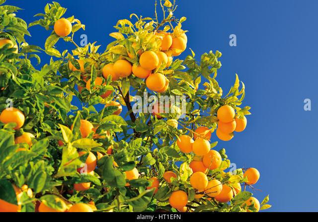 Baby orange fruit