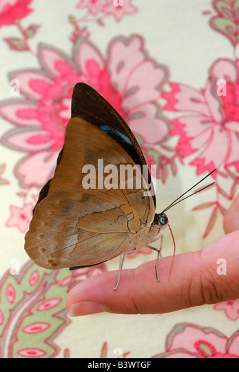 Tropical Blue Wave butterfly (Myscelia cyaniris) on a person's finger - Stock Image