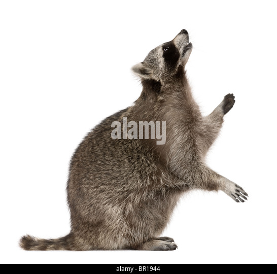 Raccoon looking up in front of white background - Stock Image