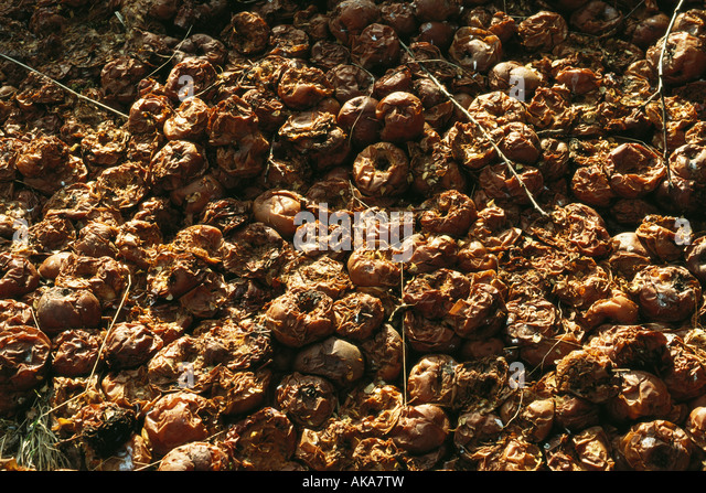 Rotting apples - Stock Image