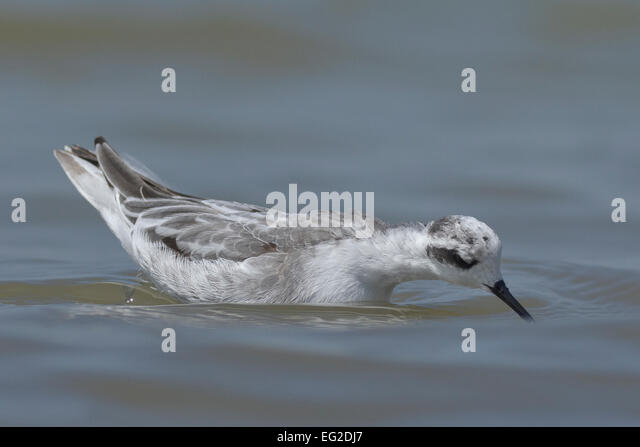 Red-necked phalarope (Phalaropus lobatus) feeding - Stock-Bilder