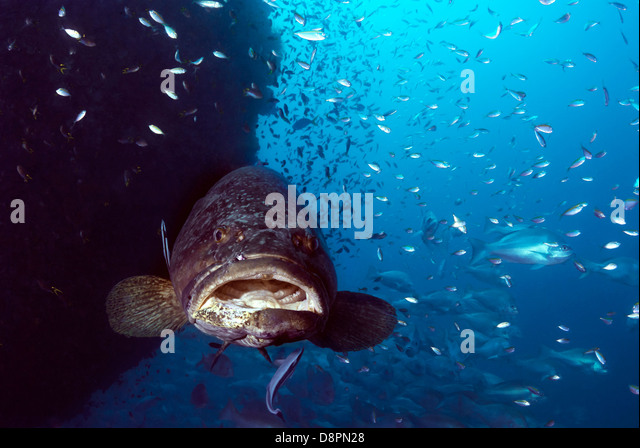 Giant Grouper Epinephelus lanceolatus with Reef Fish at SS Yongala wreck, Great Barrier Reef, Coral Sea, Queensland, - Stock Image