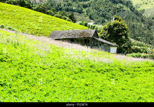 Green Lettuce Filed - Stock Image