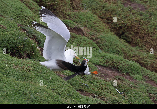 European herring gull (larus argentatus) adult summer plumage, dislodging feather from Atlantic Puffin (Fratercula - Stock-Bilder