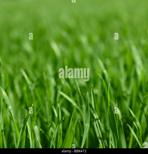 Corn field in spring with focus on foreground leaves with water droplets. - Stock Image