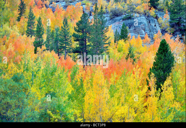 Mixed forest of aspens in fall colors and fir trees Inyo National Forest California - Stock-Bilder