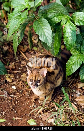 Genet Cat - Aberdare National Park, Kenya - Stock Image