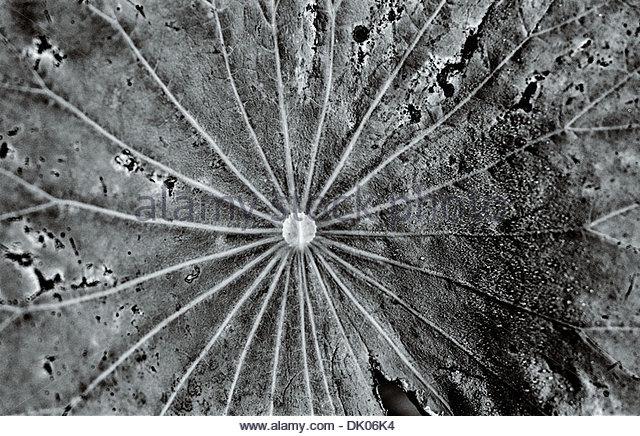 Close-up detail of a lotus leaf (Nelumbo nucifera) creating abstract patterns. Chungju, South Korea. - Stock Image