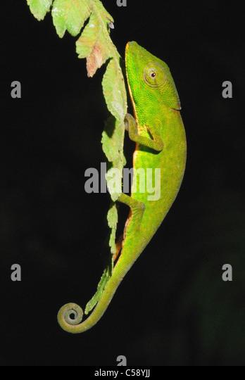 Glaw's Chameleon (Calumma glawi) in Ranomafana National Park - Stock-Bilder