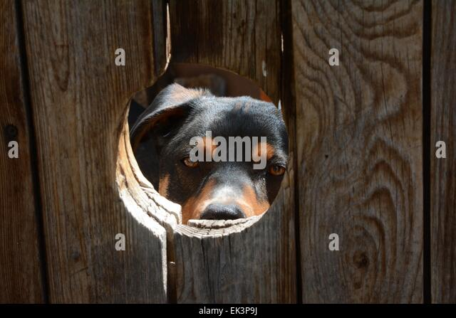 My dog, Luke, peering at me through a hole as I approached the gate to my home. - Stock Image