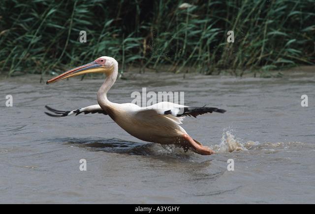 eastern white pelican (Pelecanus onocrotalus), departing from water, Senegal, Djoudj NP - Stock Image